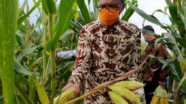 Dokumen: Gubernur Sulsel Nurdin Abdullah melakukan panen jagung pada tahun lalu. (int)