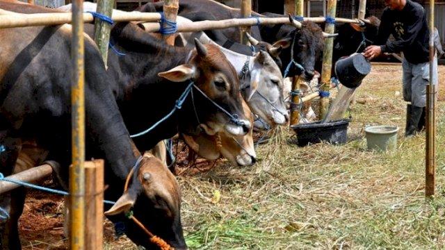 Ilustrasi: Menghadapi Hari Raya Idul Adha, Disnak Keswan Sinjai menyiapkan sekitar 9 ribu ekor sapi untuk kebutuhan kurban. (int)